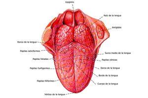 partes de la lengua