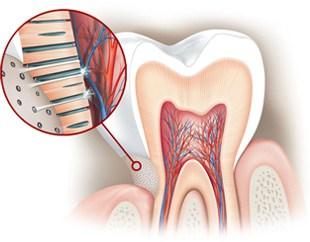 Dentina y túbulos dentinarios