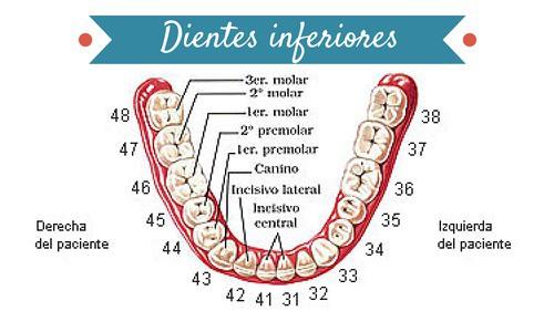 las piezas dentales tienen su propio n mero
