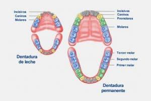 Imagen de dientes de leche y definitivos