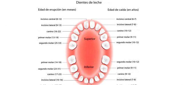 Edades de la dentición definitiva