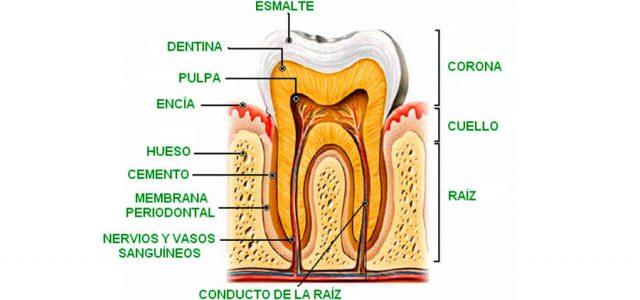 Partes internas del diente