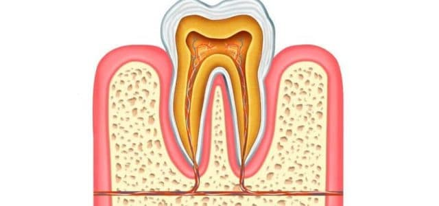 Parte interna de un diente