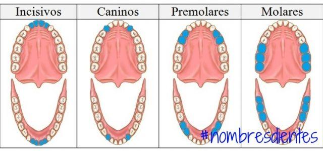 nombres de los dientes descubre como se llama cada diente