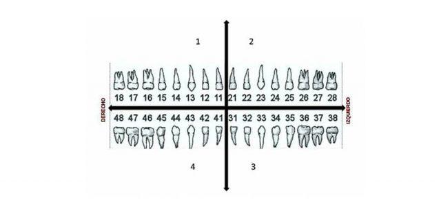 Cada diente recibe un número