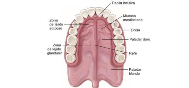 Partes del paladar