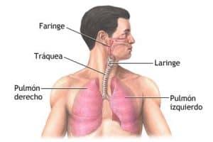 Pulmones, laringe y boca para hablar
