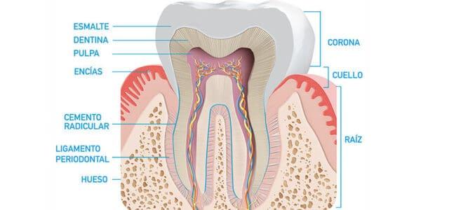 Partes de un diente